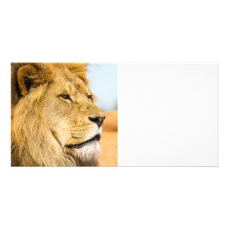 Big lion looking far away card