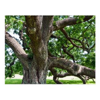 Big Old Tree Postcard
