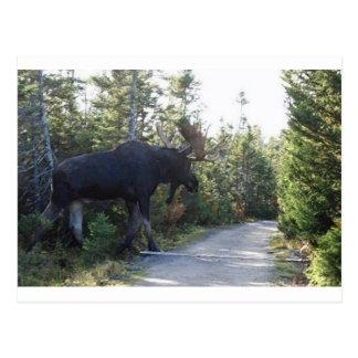 Big Ole Moose! Postcard