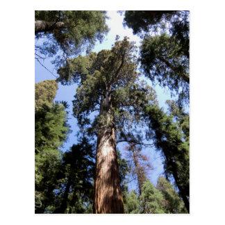 Big Trees Sequoia National Park Postcard