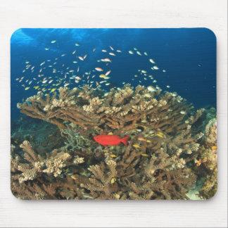Bigeye hiding under hard coral, Kadola Island, Mouse Pad