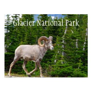 Bighorn Sheep, Glacier National Park, Montana Postcard