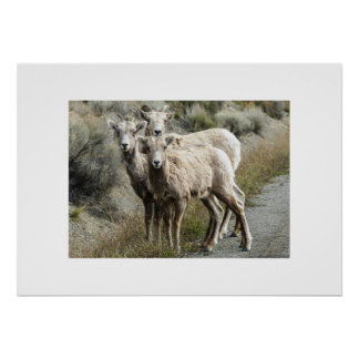 Bighorn Sheep in the Mountains Poster