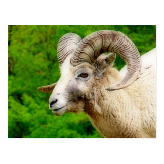 Bighorn Sheep - Male with Big Horns Postcard