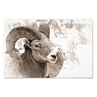 Bighorn Sheep Photo Print