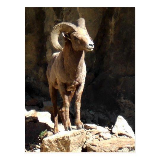 Bighorn Sheep Ram near rocks in Colorado. Postcard