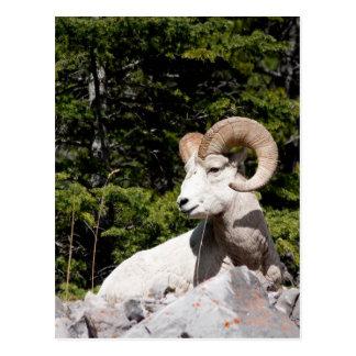 Bighorn Sheep ram Postcard
