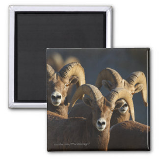 Bighorn Sheep Square Magnet