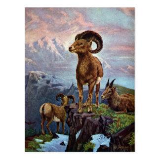Bighorn Sheep Vintage Illustration Postcard
