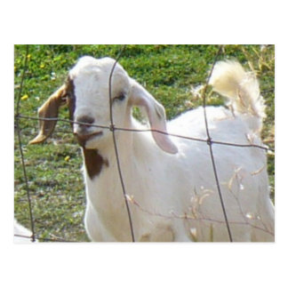 Billy Goat 2 Postcard