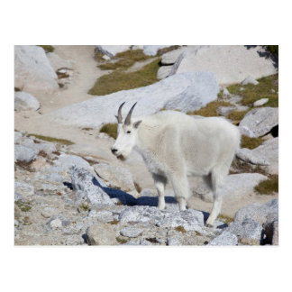 Billy goat, in Upper Enchantments Postcard