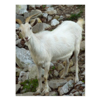 Billy Goat Postcard