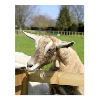 Billy the Goat Postcard
