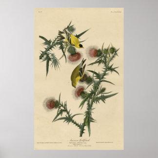 Bird, America, American Goldfinch, Audubon, Vintag Poster