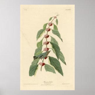 Bird, America, Blue Green Warbler, Audubon, Vintag Poster