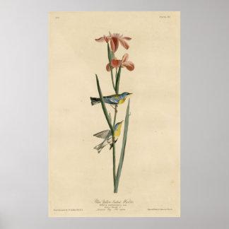 Bird, America, Blue Yellow Backed Warbler, Audubon Poster