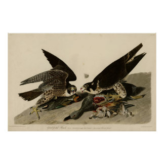 Bird, America, Great Footed Hawk, Audubon, Vintage Poster