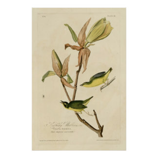 Bird, America, Kentucky Warbler, Audubon, Vintage Poster