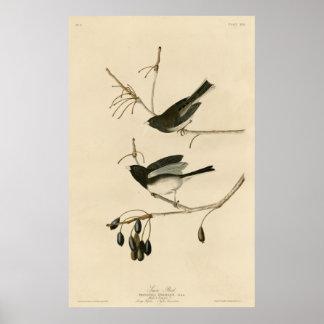 Bird, America, Snow Bird, Audubon, Vintage Poster