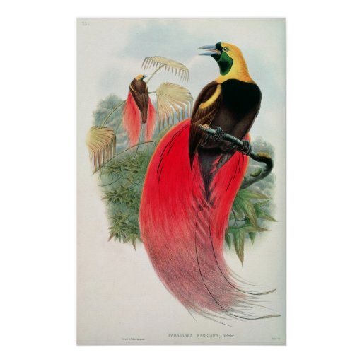 Bird of Paradise, engraved by T. Walter Posters