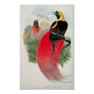 Bird of Paradise engraved by T Walter Posters
