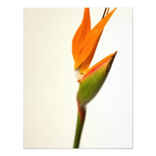 Bird Of Paradise Flower Custom Announcement