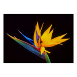 Bird of Paradise: Tropical Flower Poster