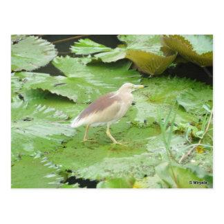 Bird on lilly pads postcard