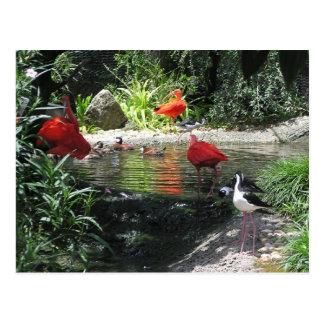 Birds in Water Postcard