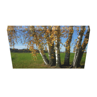 Birkengruppe in the autumn with multicolored sheet stretched canvas print