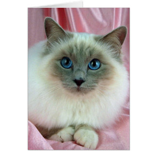 Birman, lilac point card