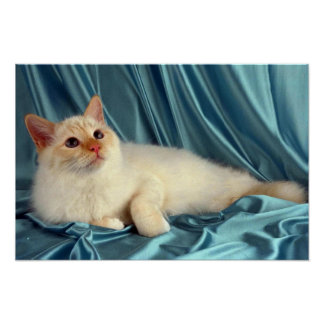 Birman, red point poster