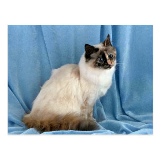 Birman, seal tortie point postcard