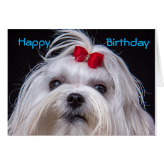 Birthday Card Maltese white toy Dog