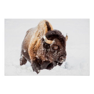 Bison bull foraging in deep snow poster