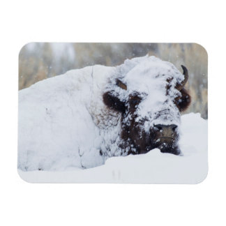 Bison Bull, winter coat Magnet