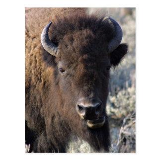 Bison close up postcard