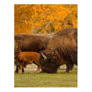 Bison Family Nation Postcard