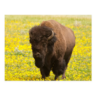 Bison in yellow postcard