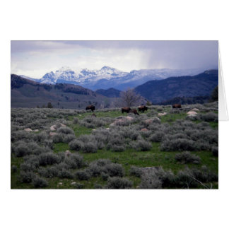 Bison in Yellowstone Card