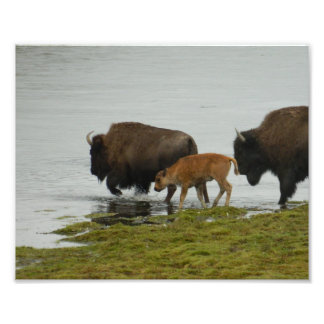 Bison in Yellowstone National Park Art Photo