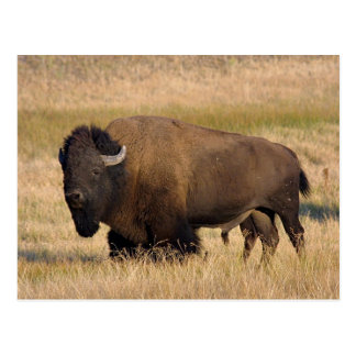 Bison in Yellowstone Postcard