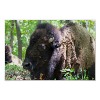 Bison, Lone Elk Park, St. Louis, MO Poster