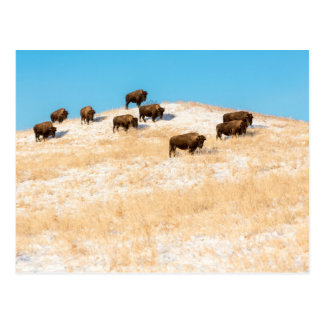 Bison on a hill postcard