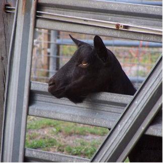 Black alpine goat doe waiting at metal gate photo sculpture badge