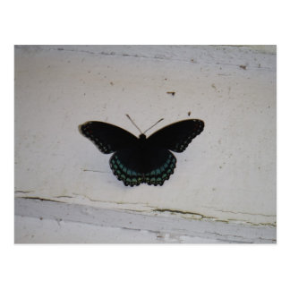 Black and Blue Butterfly on white washed wood Post Card