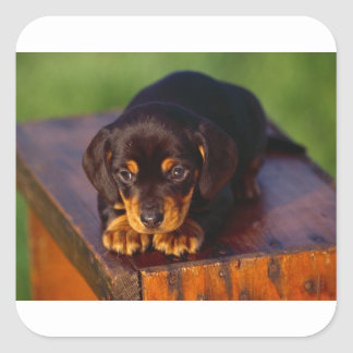 Black And Tan Coonhound Puppy Square Sticker