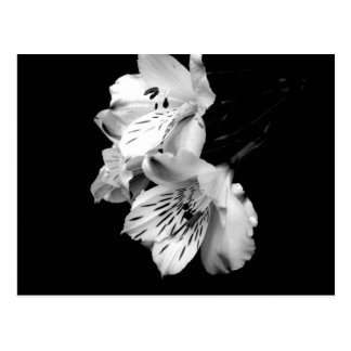 Black and White Alstroemeria Lily Postcard