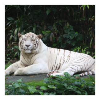 Black and White Bengal Tiger relaxed and smiling Photographic Print