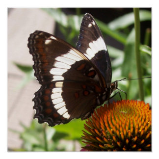 Black and White Butterfly  49 Poster